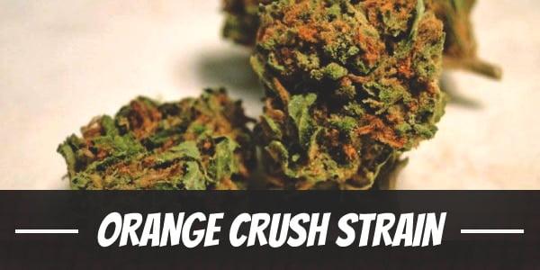 Orange Crush Strain