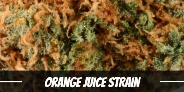 Orange Juice Strain