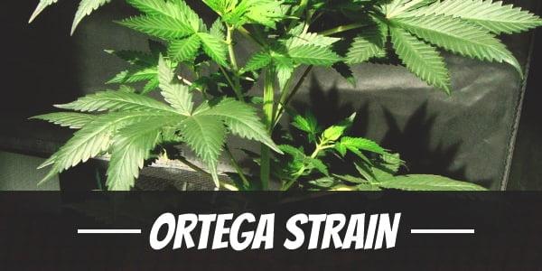 Ortega Strain