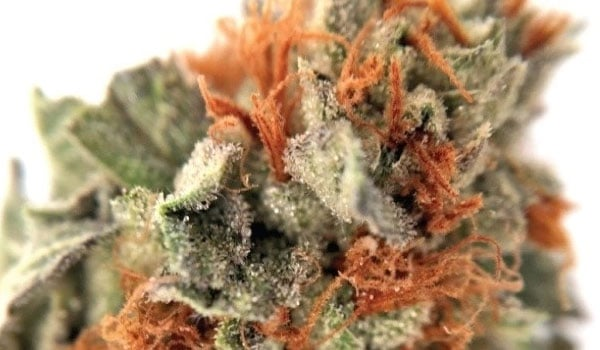Oteils Egyptian Kush Strain Effects