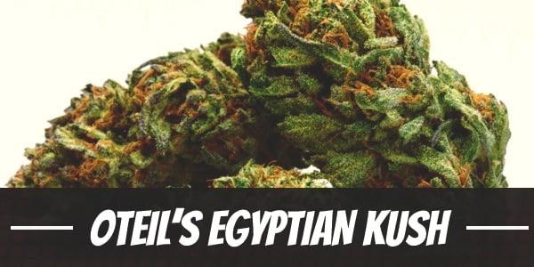 Oteil's Egyptian Kush Strain