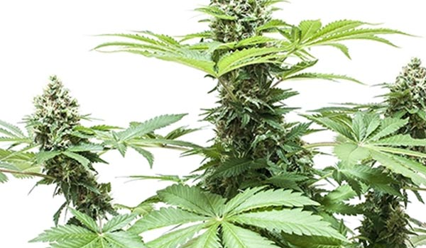 Other aspects to consider when growing one marijuana plant