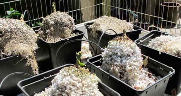 Perlite and Vermiculite growing