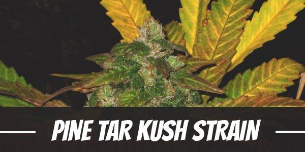 Pine Tar Kush Strain