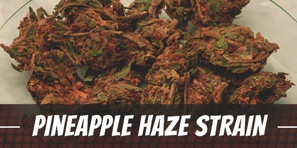 Pineapple Haze Strain