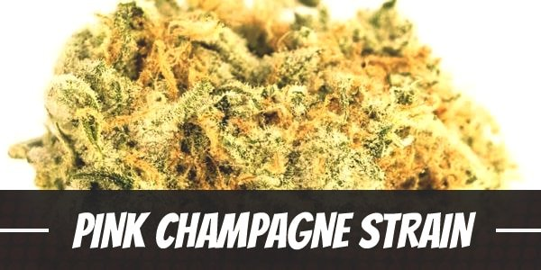 Pink Champagne Strain
