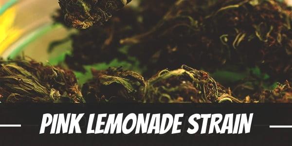 Pink Lemonade Strain