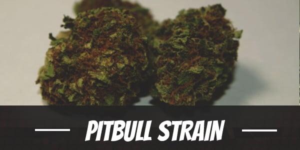 Pitbull Strain