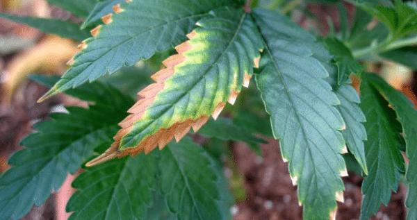 Potassium Deficiency In Marijuana Plants