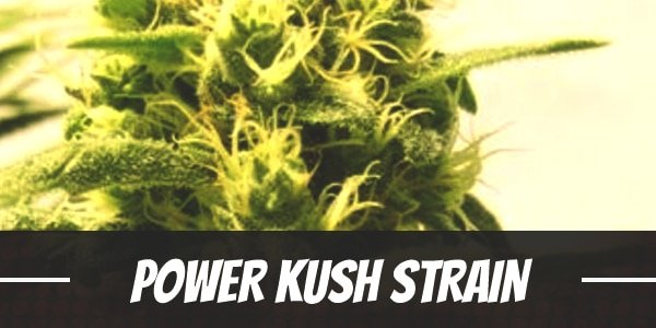Power Kush Strain