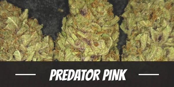 Predator Pink