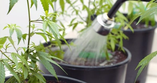 Adequate watering of cannabis plants