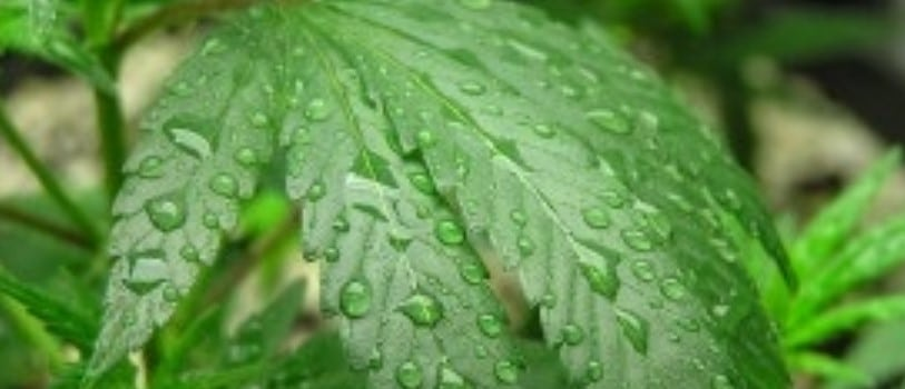 Protecting marijuana plants from humidity problems