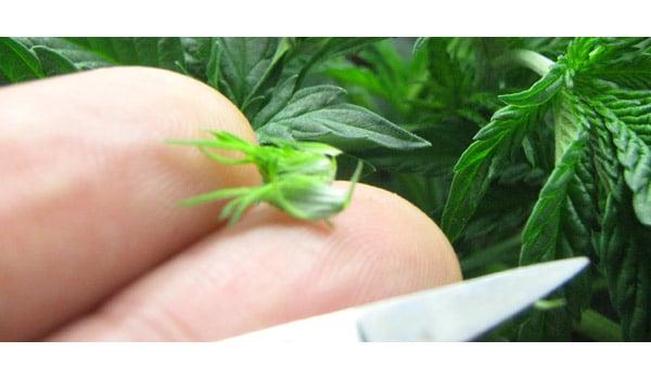 Pruning autoflower