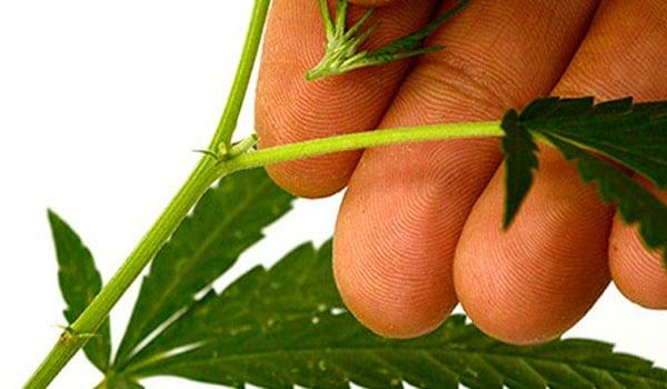 Pruning your marijuana plant