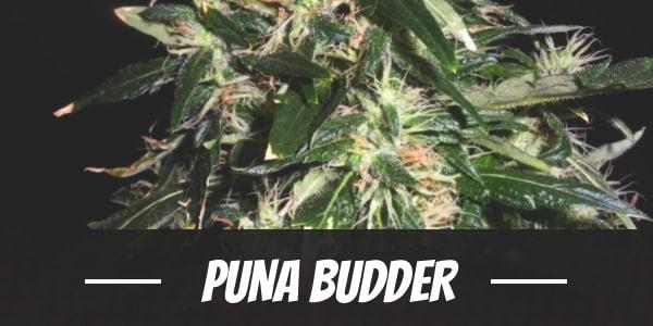 Puna Budder