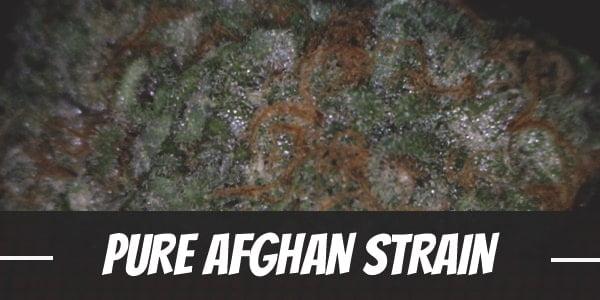 Pure Afghan Strain