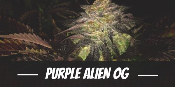 Purple Alien OG