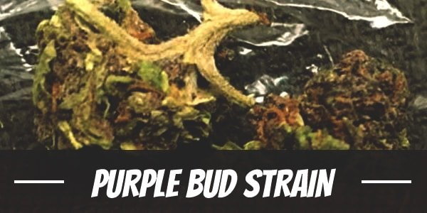 Purple Bud Strain