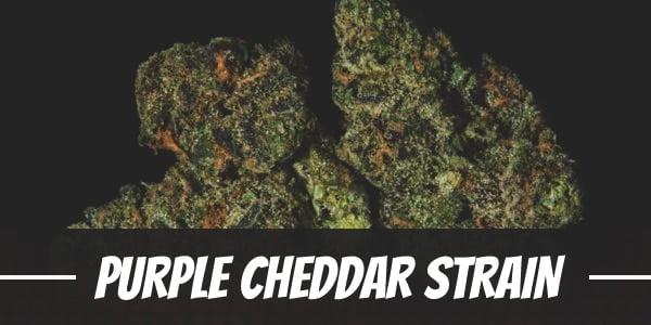 Purple Cheddar Strain