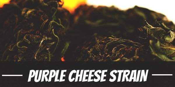 Purple Cheese Strain