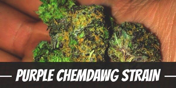 Purple Chemdawg Strain