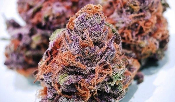 Purple Cotton Candy Strain Growing
