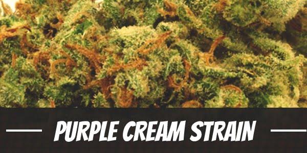 Purple Cream Strain