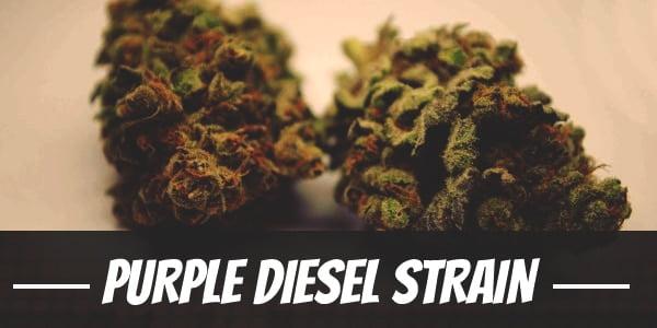 Purple Diesel Strain