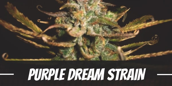 Purple Dream Strain