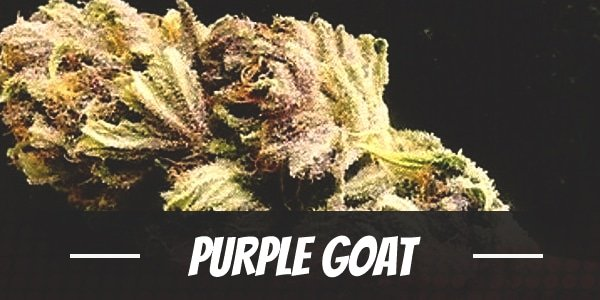 Purple Goat