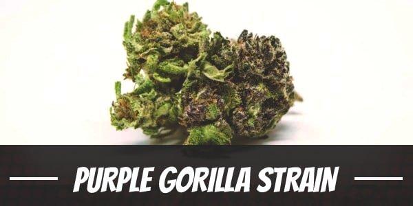 Purple Gorilla Strain