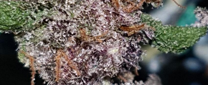 Purple Pantera Adverse Reaction