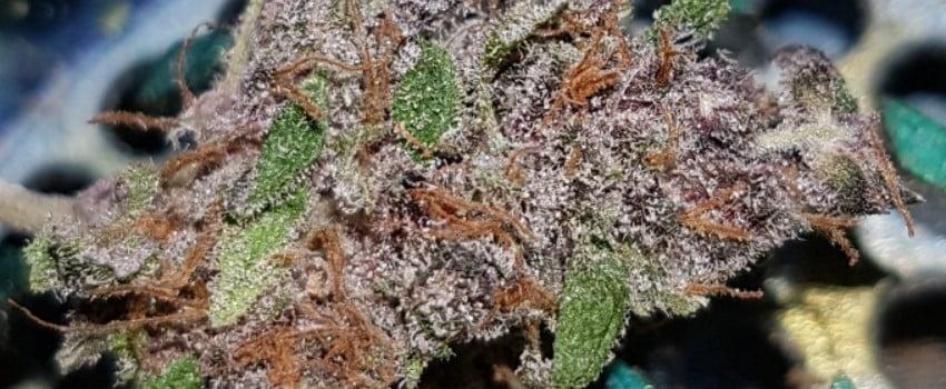 Purple Pantera Medical