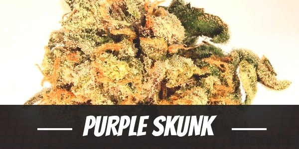 Purple Skunk Strain