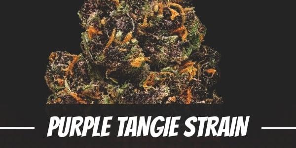Purple Tangie Strain
