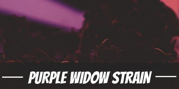 Purple Widow Strain