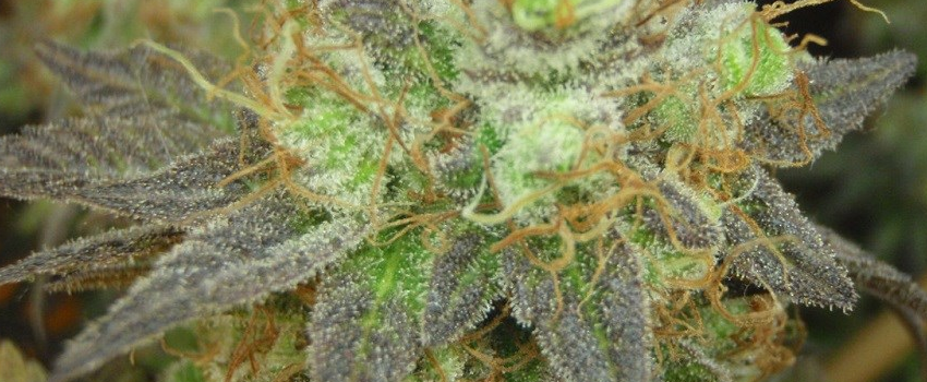 Purple_Candy_Medical