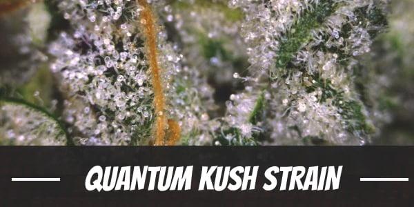 Quantum Kush Strain