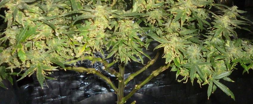 Querkle Growing