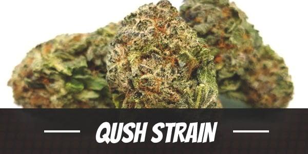 Qush Strain