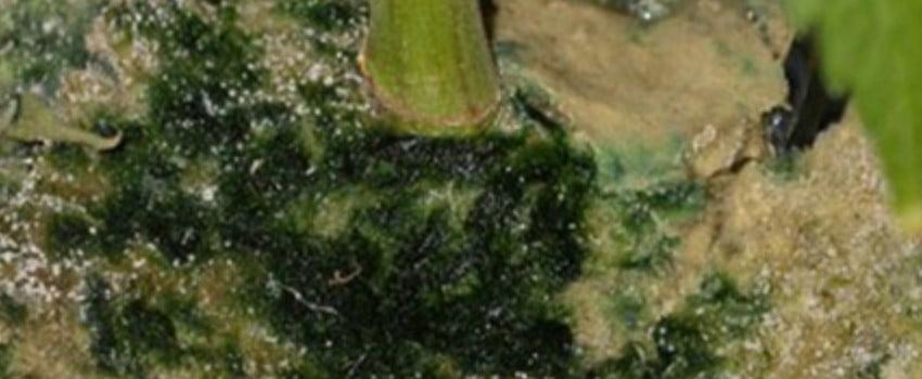 Recognizing Algae Infestation