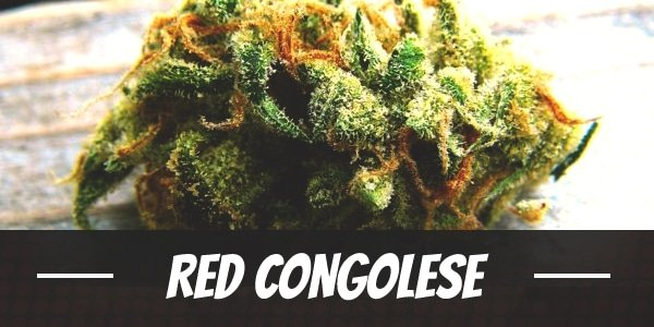 Red Congolese