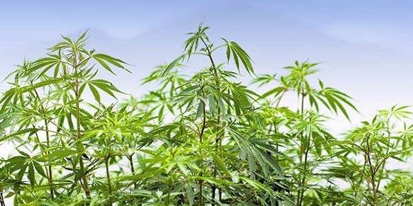 Remember to look up when growing marijuana
