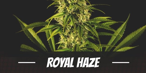 Royal Haze