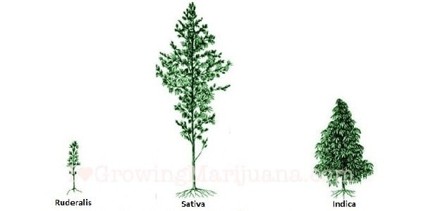 Cannabis ruderalis, Sativa and Indica plant height compared