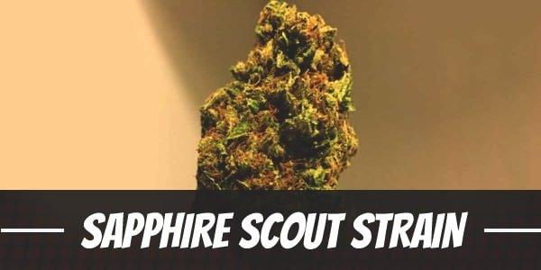 Sapphire Scout Strain