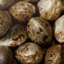 Sativa seeds