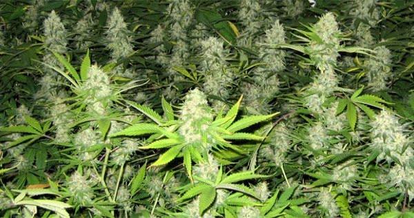 Sea Of Green SOG Marijuana Growing