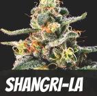 Shangri-La Strain